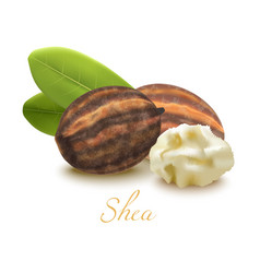 shea butter nuts and leaves in realistic style vector image
