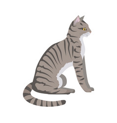 Toyger cat flat design vector
