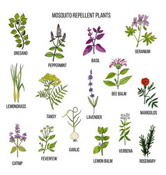 Best mosquito repellent plants vector