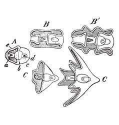 Echinopaedia vintage vector