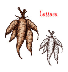 Cassava sketch of tropical plant tuber vector