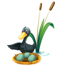 A duck at the pond beside her eggs vector image