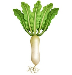 Fresh radish with leaves and root vector image