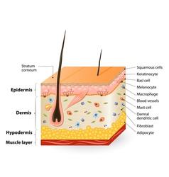 Human skin Anatomy vector