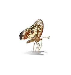 butterfly on top side and eating nectar from f vector image
