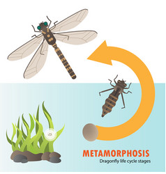 dragonfly life cycle metamorphosis vector image