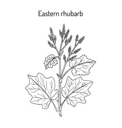 eastern rhubarb rheum officinale medicinal plant vector image