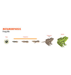 Frog life cycle metamorphosis vector