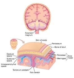 Human brain layer anatomy vector