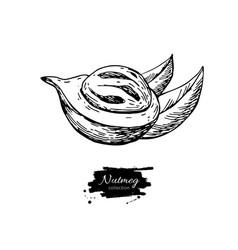nutmeg spice drawing mace fruit seasoning vector image