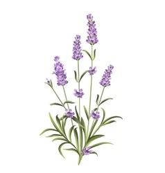Set of lavender flowers elements vector