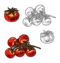 Cherry tomatoes sketch vegetable icon vector