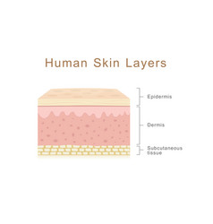Human skin layers vector