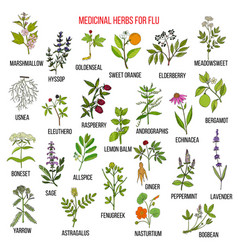 Best medicinal herbs for flu vector