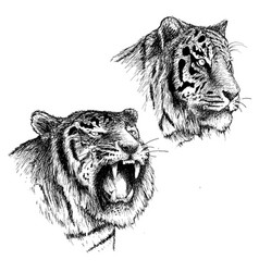 Head of angry and calm tiger vector
