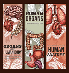Human organs sketch anatomy poster vector