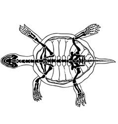 Turtle skeleton vector