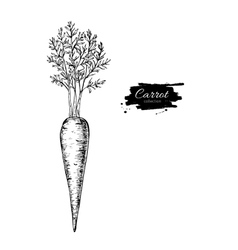 Carrot hand drawn isolated vector