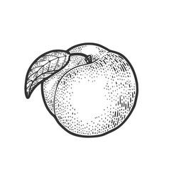 Peach fruit sketch vector