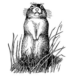 little ground squirrel vector image