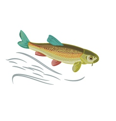Koi carp multicolored domesticated japan fish vector