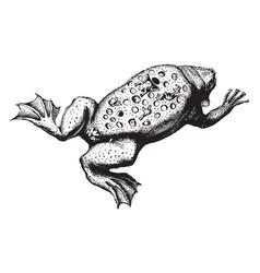 Surinam toad vintage vector