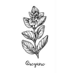 Ink sketch of oregano vector