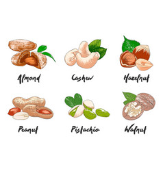 engraved style organic nuts collection for vector image