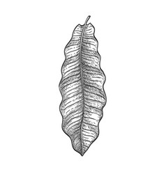 Ink sketch of brazil nut tree leaf vector