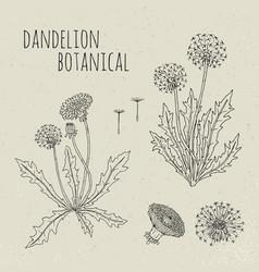 dandelion medical botanical isolated vector image vector image