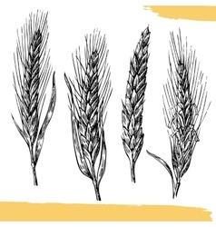 Wheat ears Black and white color Bakery sketch vector image