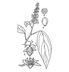 Croton tiglium vintage vector