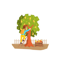 male farmer picking pears from tree gardener at vector image