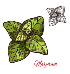 Marjoram seasoning plant sketch plant icon vector