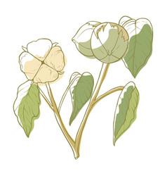 cotton white soft flower fluffy blossom vector image
