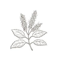 Hand-drawn patchouli plant vector