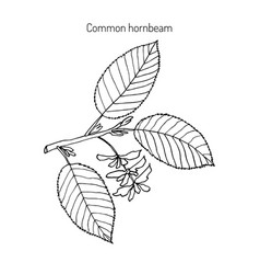 hornbeam with leaves and fruits vector image