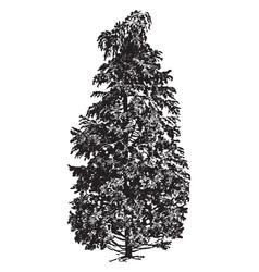 Cypress vintage vector