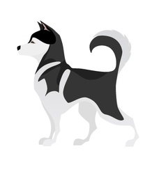 Isolated adorable black and white young Husky vector image vector image