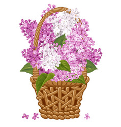 Lilac in basket vector