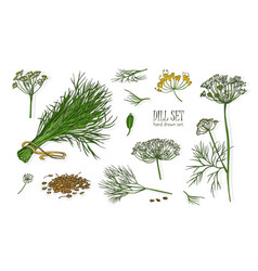 Collection of elegant drawings of dill plant with vector