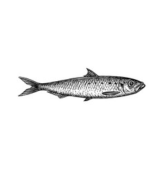 ink sketch of sardine vector image