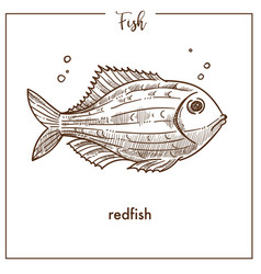 Redfish sketch fish icon of snapper or vector