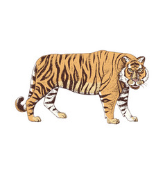 Hand drawn colorful tiger vector