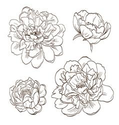 Set peony flowers isolated vector image