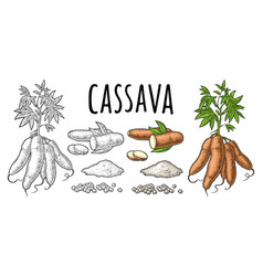 Cassava manioc plants with leaves and tuber vector