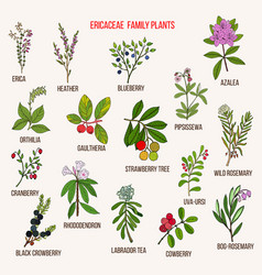 Ericaceae or heather family flowering plants vector