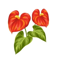 Bouquet of two decorative flowers anthurium on vector image