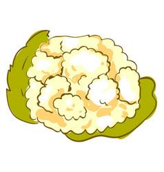 Cauliflower on white background vector