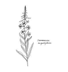 Ink drawing plant willow herb vector
